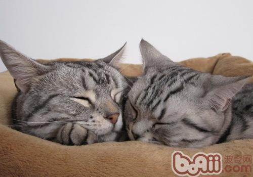 猫咪牙齿健康勿忽视-成猫饲养